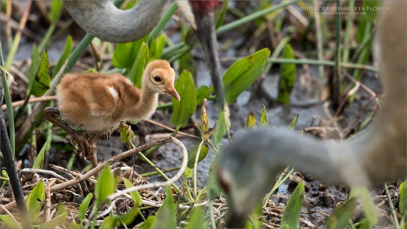 Sandhill crane family<br /> Raymond Barlow Photo Tours to USA - Wildlife and Nature<br /> <br /> ray@raymondbarlow.com<br /> Nikon D810 ,Nikkor 600 mm f/4 ED<br /> 1/1250s f/5.6 at 600.0mm iso640