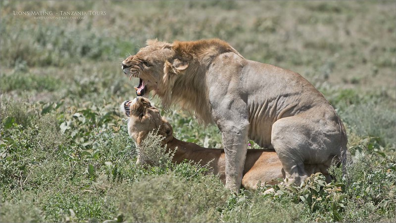 I'm not sure about posting such images, as I am sure that this may offend some people.    So, this is nature, and interesting if nothing else. <br /> <br /> Unfortunately, such bad light for this one.<br /> <br /> We were lucky to see so many lions on this tour.  At least 15 mating's.  So many cool scenes, and fun shooting.  Many more to come. (but most likely, this will be my last post of lions mating)<br /> <br /> Thanks for looking! <br /> <br /> Lions Mating with Expression<br /> Raymond Barlow Photo Tours to Tanzania Wildlife and <br /> <br /> Aug 2018 + Feb 2019 coming soon!<br /> <br /> ray@raymondbarlow.com<br /> Nikon D850 ,Nikkor 200-400mm f/4G ED-IF AF-S VR<br /> 1/3200s f/5.0 at 360.0mm iso1000