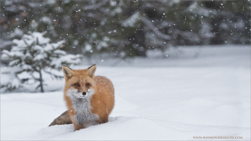 Snowy Fox<br /> Raymond's Ontario Nature Tours<br /> <br /> ray@raymondbarlow.com<br /> Nikon D810 ,Nikkor 200-400mm f/4G ED-IF AF-S VR<br /> 1/320s f/6.3 at 240.0mm iso200