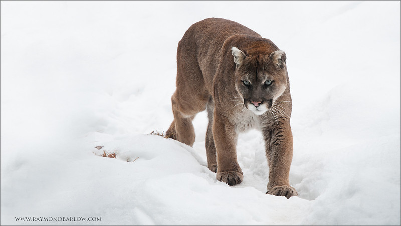 "Cougar (captive)<br /> RJB Muskoka Wildlife Center Workshops<br /> <br />  <a href=""http://www.raymondbarlow.com"">http://www.raymondbarlow.com</a><br /> 1/200s f/4.5 at 70.0mm iso250"