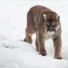 "Cougar (captive)<br /> RJB Muskoka Wildlife Center Workshops<br /> <br />  <a href=""http://www.raymondbarlow.com"">http://www.raymondbarlow.com</a><br /> 1/200s f/4.5 at 70.0mm iso250"