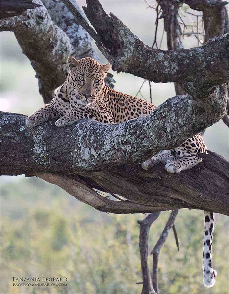 Probably my favourite image so far from this past Africa tour, 2020.  <br /> <br /> A very timid leopard resting in a tree about 90 yards away, with some serious back-light.  So it took some effort to get a clean shot.  This is a vertical crop taken from the image that was shot in landscape crop.<br /> <br /> I will post the horizontal version soon, still so many more to edit.<br /> <br /> Thanks for looking!<br /> <br /> Love Tanzania!