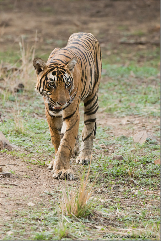 "Royal Bengal Tiger<br /> Raymond's India Photo Tours<br /> <br />  <a href=""http://www.raymondbarlow.com"">http://www.raymondbarlow.com</a><br /> ray@raymondbarlow.com<br /> Nikon D800 ,Nikkor 200-400mm f/4G ED-IF AF-S VR<br /> 1/1600s f/5.0 at 310.0mm iso2500"