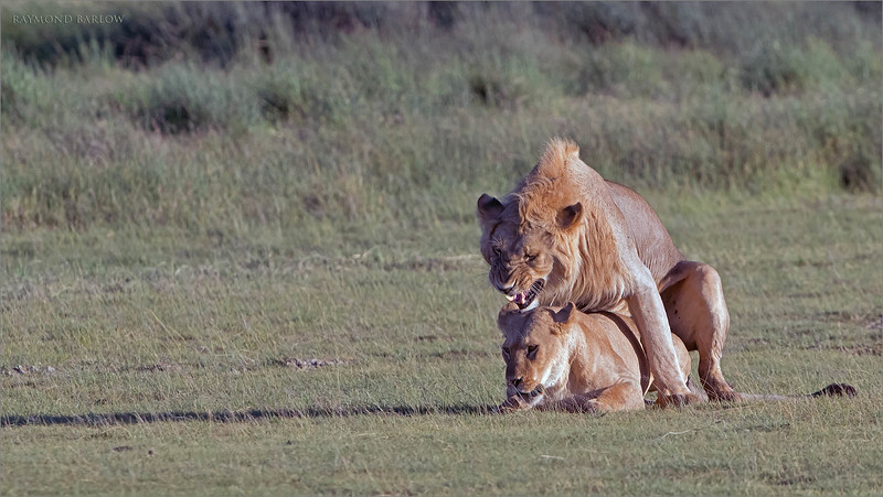 "We were very fortunate on my most recent tour to Tanzania,   Several pairs of lions mating.  <br /> <br /> Early morning sunrise light, and about 6 lions right in front of us guarding a wildebeest carcass, and enjoying each others company.<br /> <br /> We can only look forward to the 2 tours coming up in 2020 for the same amazing luck as we have had on the past 6 tours.  <br /> <br /> Thanks to my guests, and my great partners in Tanzania who help me prepare and provide a superb experience for all of us over the years.<br /> <br /> Tour info here:<br /> <br /> <a href=""https://raymondbarlow.smugmug.com/Raymond-Barlow-Workshops-and-Tours"">https://raymondbarlow.smugmug.com/Raymond-Barlow-Workshops-and-Tours</a><br /> <br /> 1/1250s f/6.3 at 400.0mm iso640"