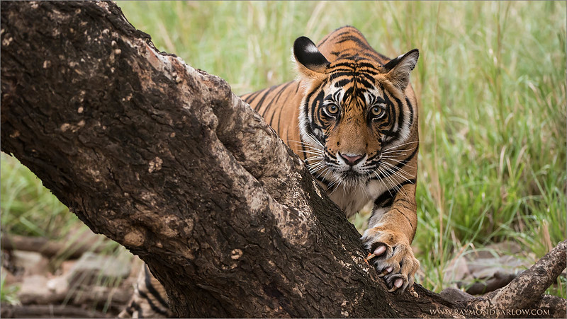 RJB_0907 Tiger on a Tree 1600 share