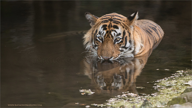 "Tiger in for a Swim!<br /> Tiger tours to India!<br /> <br />  <a href=""http://www.raymondbarlow.com"">http://www.raymondbarlow.com</a><br /> 1/500s f/4.0 at 400.0mm iso1000"