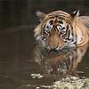 "Tiger in for a Swim!<br /> RJB Costa Rica Tours<br /> <br />  <a href=""http://www.raymondbarlow.com"">http://www.raymondbarlow.com</a><br /> 1/500s f/4.0 at 400.0mm iso1000"