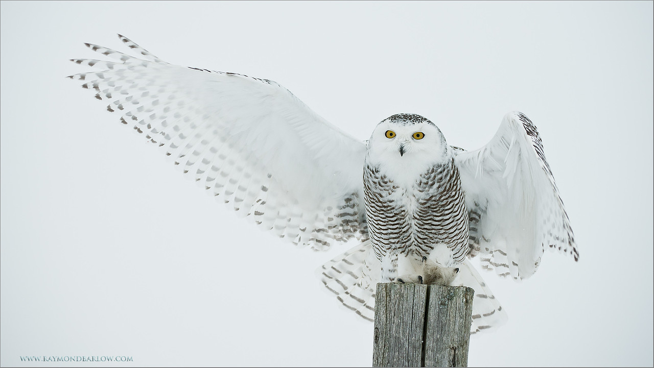Snowy Owl Landing<br /> ray@raymondbarlow.com<br /> No Bait used or needed<br /> Nikon D800 ,Nikkor 200-400mm f/4G ED-IF AF-S VR<br /> 1/2000s f/4.0 at 200.0mm iso500