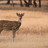 "Spotted Deer in India<br /> Raymond's India Photo Tours<br /> <br /> ray@raymondbarlow.com<br />  <a href=""http://www.raymondbarlow.com"">http://www.raymondbarlow.com</a><br /> Nikon D800 ,Nikkor 200-400mm f/4G ED-IF AF-S VR<br /> 1/1000s f/5.6 at 400.0mm iso640"