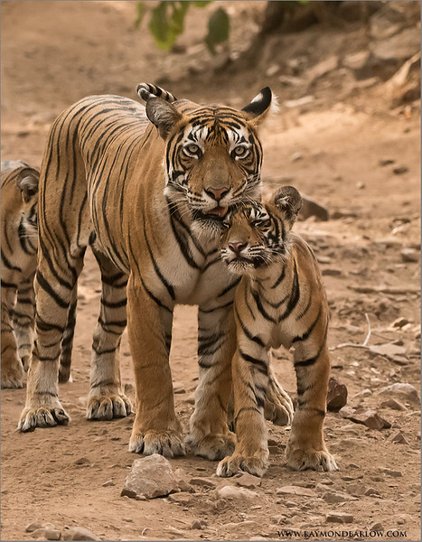 Tigress T60 and her Cub<br /> Raymond's Wild Tiger Photography Tours<br /> <br /> ray@raymondbarlow.com<br /> Nikon D810 ,Nikkor 200-400mm f/4G ED-IF AF-S VR<br /> 1/640s f/6.3 at 200.0mm iso2000