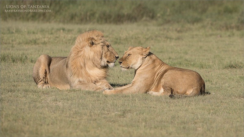 A belated wish to my dream girls Daisy Barlow and Maria Dessiray.. thanks for everything hug, and for all the dreams come true.<br /> <br /> Valentines Day Lions<br /> Raymond Barlow Photo Tours to Tanzania Wildlife and Nature<br /> <br /> ray@raymondbarlow.com<br /> Nikon D850 ,Nikkor 200-400mm f/4G ED-IF AF-S VR<br /> 1/1000s f/5.0 at 260.0mm iso125
