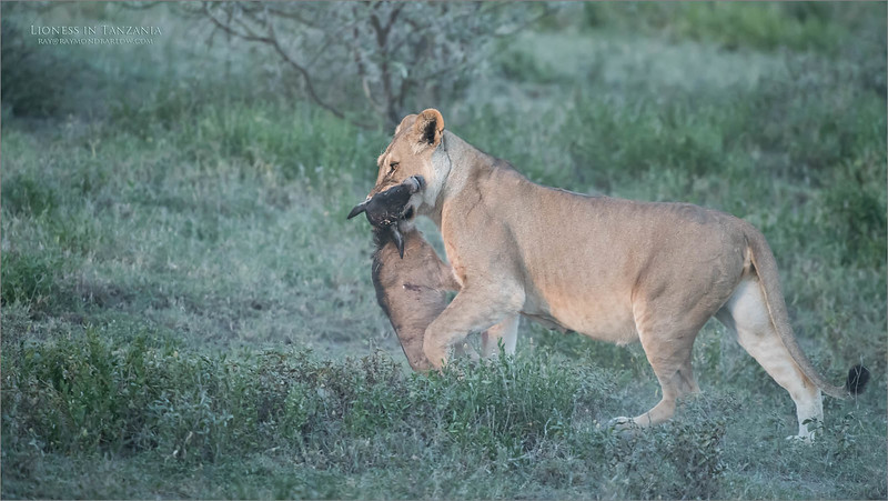 I have a few more images of this scene, but most people will not appreciate them, the wee one did not have a good ending., but on the other side if this Lioness is pregnant, she will have healthy cubs.<br /> <br /> All goo, fun shoot, real nature.<br /> <br /> Lioness with Dinner<br /> Tanzania, Africa<br /> <br /> ray@raymondbarlow.com<br /> Nikon D850 ,Nikkor 200-400mm f/4G ED-IF AF-S VR<br /> 1/320s f/5.0 at 400.0mm iso2500