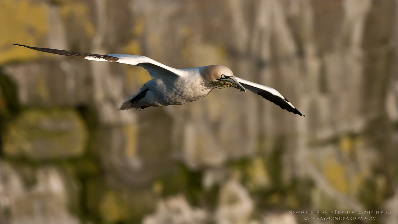Northern Gannet Nesting<br /> Raymond's Canada Nature Photography Tours<br /> <br /> ray@raymondbarlow.com<br /> Nikon D810 ,Nikkor 200-400mm f/4G ED-IF AF-S VR<br /> 1/2500s f/6.3 at 400.0mm iso800