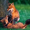 """Fox Fight Two!<br /> <br /> Full story with the """"Fox Fight One"""" image."""