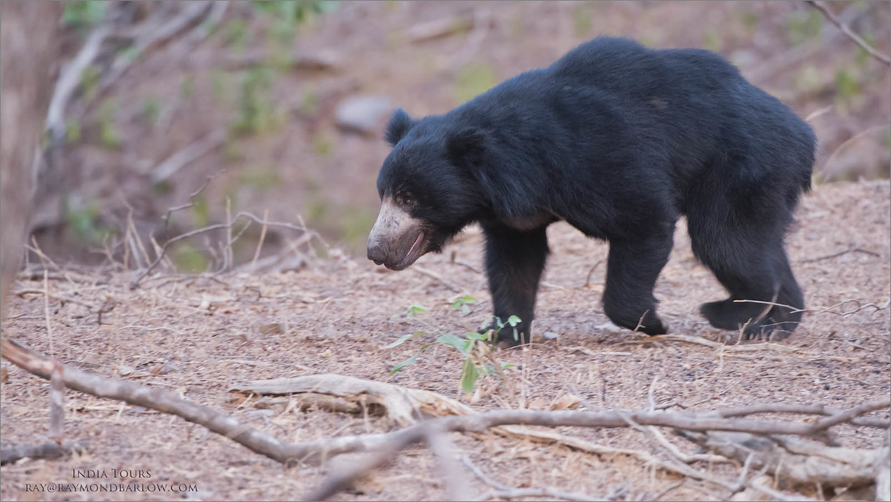 Sloth Bear - India<br /> Raymond's Wild Tiger Photography Tours<br /> <br /> ray@raymondbarlow.com<br /> Nikon D810 ,Nikkor 200-400mm f/4G ED-IF AF-S VR<br /> 1/160s f/5.0 at 400.0mm iso2500