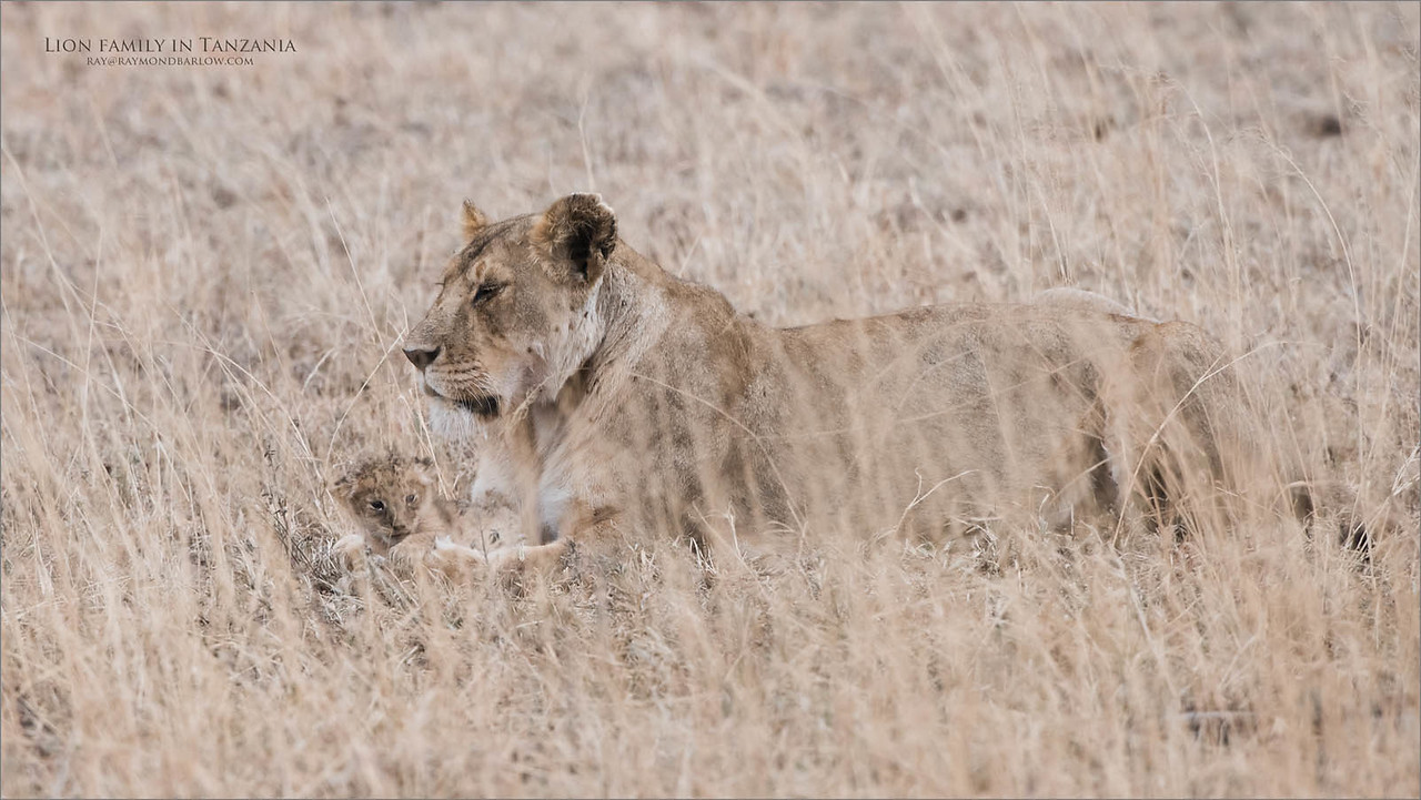 Mother Lion and Cub<br /> Raymond Barlow Photo Tours to Tanzania Wildlife and Nature<br /> <br /> ray@raymondbarlow.com<br /> Nikon D810 ,Nikkor 200-400mm f/4G ED-IF AF-S VR<br /> 1/1000s f/6.3 at 400.0mm iso1000