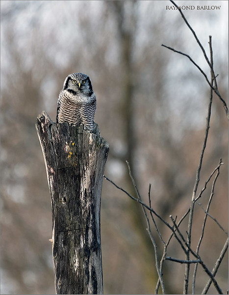 A nice trip to North of Toronto today with great news from my friend about a Northern Hawk owl.  A couple hour of shooting gave us a few nice chances.  Hoping to go back soon!<br /> <br /> Northern Hawk Owl<br /> Ontario, Canada<br /> Sony A7riv,Sony FE 100-400mm F4.5–5.6 GM OSS<br /> 1/1000s f/5.6 at 400.0mm iso1000