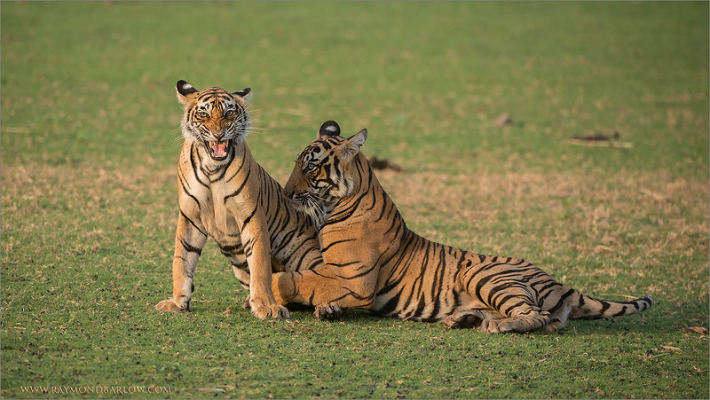 RJB_1289 Royal Bengal Tiger Cubs in Play 1600 share