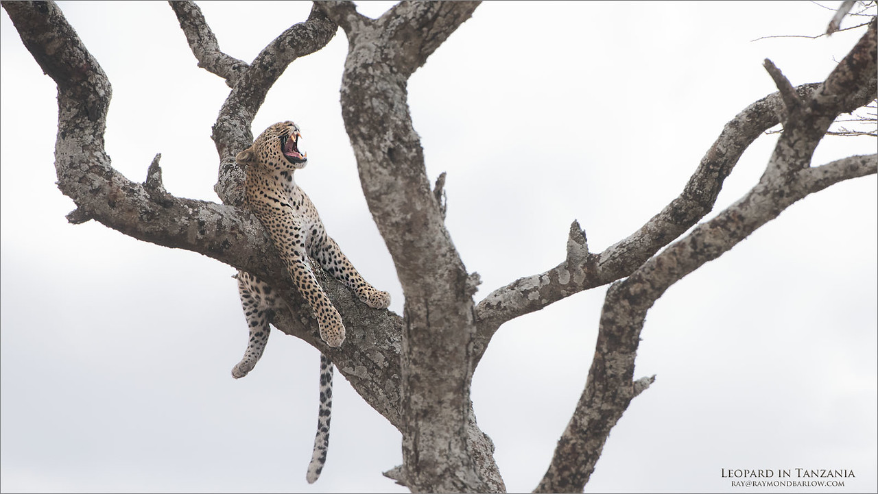 *Somebody woke me up?*<br /> <br /> Leopard in Tanzania<br /> Next Tour -February 2018