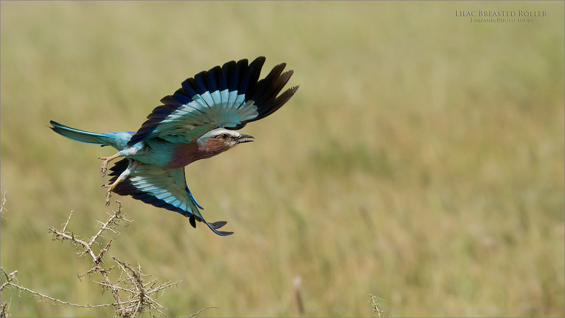 Lilac Breasted roller lifting off to hunt!  <br /> <br /> We see several of these birds every day, and hope for a chance with such a nice background as this image shows us.  <br /> <br /> We sit and wait, hoping the bird will fly in a direction for us to have a good view.  Luck was with us this time.<br /> <br /> Thanks for looking.<br /> ray@raymondbarlow.com