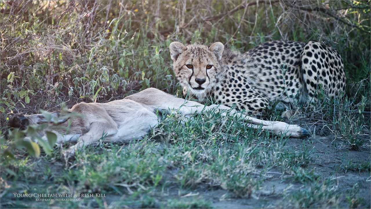 This is an eight image  story  with a cheetah family hunting for a kill.  3 of 8<br /> <br /> <br /> The Young animal appeared to want to keep the kill all to itself. It was beginning to feed while keeping watch for its mother and sibling that were not too far off in the distance. We could hear the two cheetahs screaming and looking for the younger cub but to no avail.<br /> <br />  The young cub did not respond to the calls, hoping that it could have the kill for itself being quite selfish.