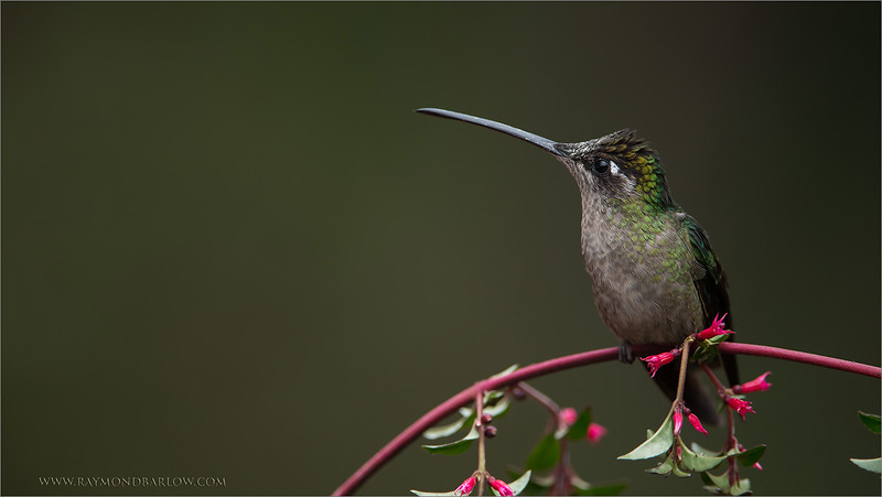 DSC_8394 Magnificent Hummingbird 1600 share