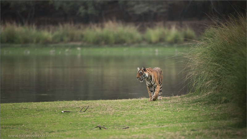 RJB_4783 Royal Bengal Tiger  1600 share