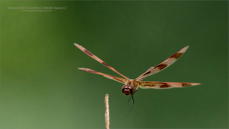 A 6  image series of a Landing dragonfly.  - Image 3