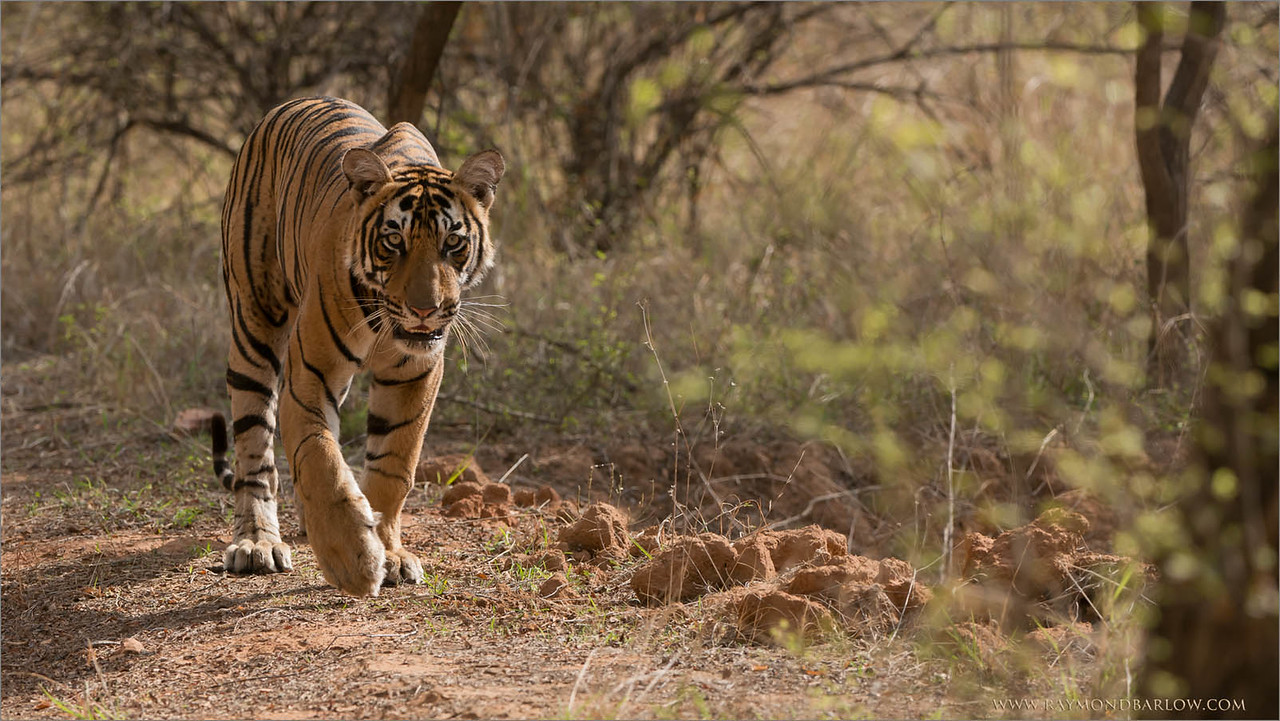 Tiger Hunting in India<br /> Raymond's India Photo Tours<br /> <br /> Help Save the Tiger!<br /> <br /> ray@raymondbarlow.com<br /> Nikon D800 ,Nikkor 200-400mm f/4G ED-IF AF-S VR<br /> 1/1600s f/5.6 at 250.0mm iso800