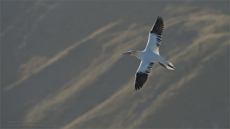 Freedom in Canada<br /> Northern gannet<br /> raymond's photo tours