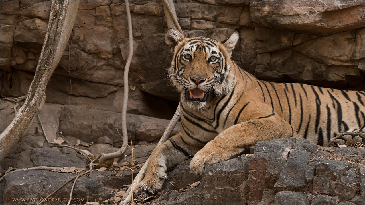 Tigress Lightening on the Rocks<br /> Raymond's Wild Tiger Photography Tours<br /> <br /> ray@raymondbarlow.com<br /> <br /> Our next Tiger Photo Tour - November 2016!<br /> Nikon D810 ,Nikkor 200-400mm f/4G ED-IF AF-S VR<br /> 1/320s f/6.3 at 240.0mm iso1600