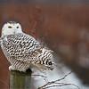 Snowy Owl<br /> RJB Wild Birds of Ontario Workshops<br /> ray@raymondbarlow.com<br /> Nikon D800 ,Nikkor 200-400mm f/4G ED-IF AF-S VR<br /> 1/200s f/4.0 at 400.0mm iso800