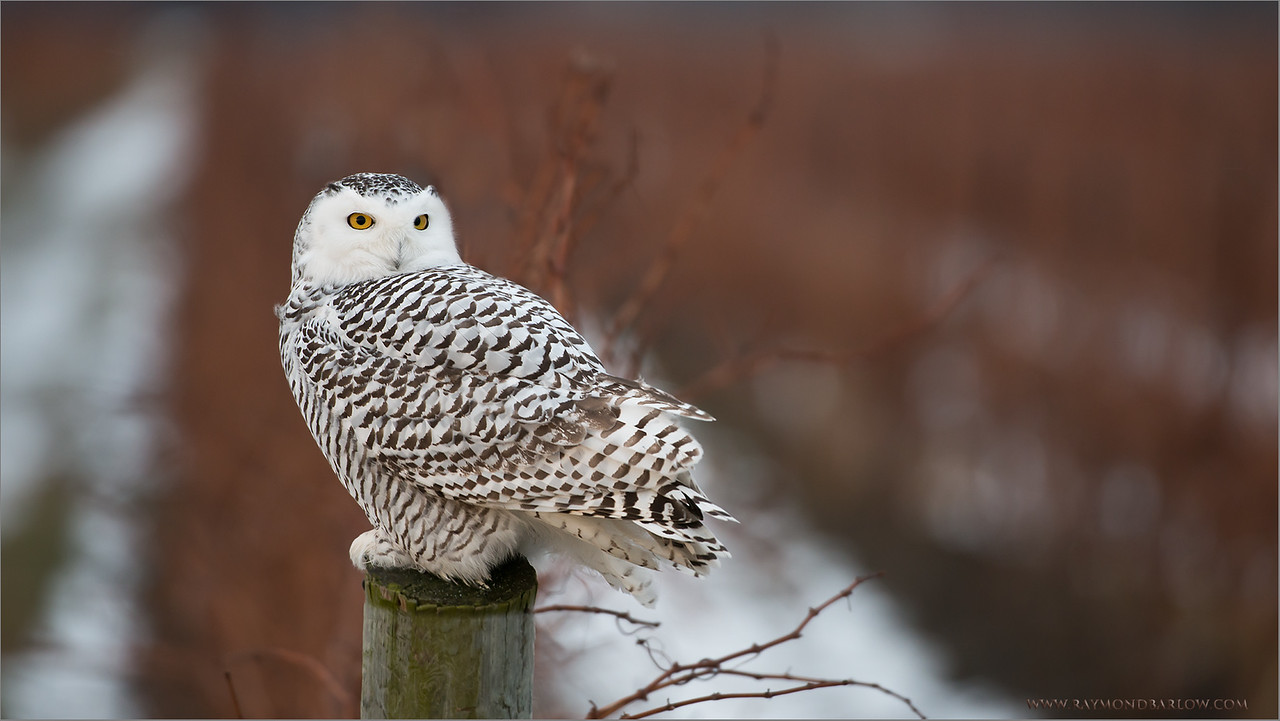 Snowy Owl<br /> RJB Wild Birds of Ontario Workshops<br /> ray@raymondbarlow.com<br /> Nikon D800 ,Nikkor 200-400mm f/4G ED-IF AF-S VR<br /> 1/200s f/4.0 at 400.0mm iso800