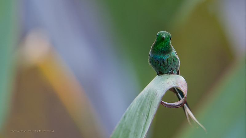 DSC_7013 Green Thorntail 1600 share