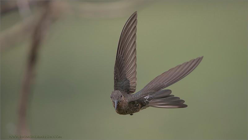 "Giant Hummingbird<br /> Raymonds Ecuador Tours<br /> <br />  <a href=""http://www.raymondbarlow.com"">http://www.raymondbarlow.com</a><br /> ray@raymondbarlow.com<br /> Nikon D810 ,Nikkor 200-400mm f/4G ED-IF AF-S VR<br /> 1/5000s f/4.0 at 340.0mm iso640"