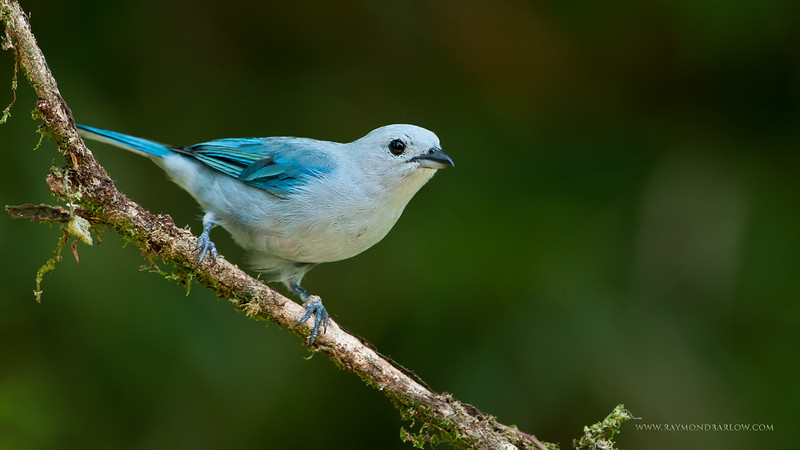 DSC_4783 Blue-gray Tanager 1600 share