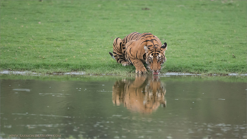 RJB_4890 Tiger Drinking and Reflection 1600 share