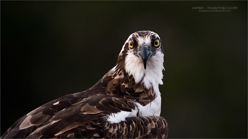 Osprey Female waits patiently for her mate to visit the nest with a fish.<br /> <br /> About 3 hours of watching a mating pair of Osprey feeding, protecting their nest, and mating was quite the amazing experience during our last adventure south to Florida. <br /> <br /> We had some time with this female, as her mate was busy on a nearby telephone pole chowing down on some fresh fish. (about 80 yards away)<br /> <br /> We could hear her calling, as I am sure she was quite hungry!  Interesting, that when he brought over the meal, she instantly left the nest to eat on a nearby pine tree, about 150 yards away. <br /> <br /> I am thinking she didn't want the mess in the nest. <br /> <br /> Amazing Nature.  This is a special part of our world that we all need to protect.<br /> Osprey portrait with my Swarovski Scope<br /> Orlando, Florida<br /> <br /> ray@raymondbarlow.com<br /> Nikon D800 ,Swarovski Spotting Scope - 95mm Optic<br /> 1/800s f8.4 iso2000