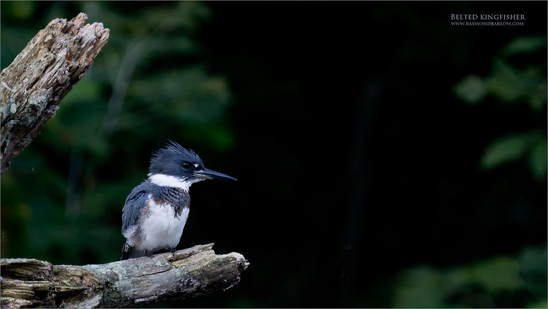 Belted Kingfisher hunting.<br /> <br /> This beauty was hunting in a nearby creek, here in Niagara.  <br /> <br /> Thanks for looking!