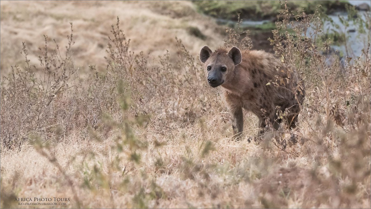 Spotted Hyena in Tanzania<br /> Raymond Barlow Photo Tours to Tanzania Wildlife and Nature<br /> <br /> ray@raymondbarlow.com<br /> Nikon D810 ,Nikkor 200-400mm f/4G ED-IF AF-S VR<br /> 1/1000s f/6.3 at 200.0mm iso3200