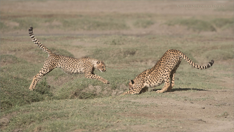 Cheetahs at Play Series 12 Shots  - Image 12 of 12