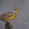 Eastern Meadowlark in the Snow<br /> Raymond's Ontario Nature Photography Tours<br /> <br /> ray@raymondbarlow.com<br /> Nikon D810 ,Swarovski Spotting Scope 95 mm- 1370mm Eff.<br /> 1/1600s f9.5 iso1600
