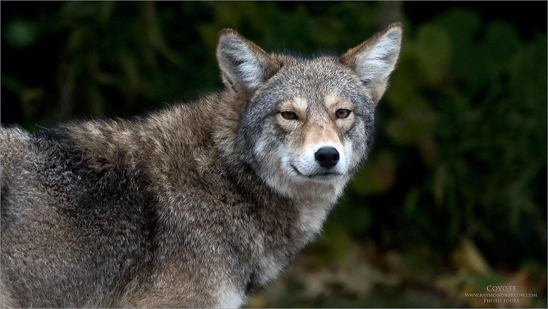 The new Sony equipment is superb, no complaints!  My mistake here as I have a UV filter on the lens which definitely softens the image quite a bit.<br /> <br /> Next time!<br /> <br /> Coyote With that Look!<br /> Sony a7rIV,Sony FE 100-400mm F4.5–5.6 GM OSS<br /> 1/250s f/5.6 at 388.0mm iso1000