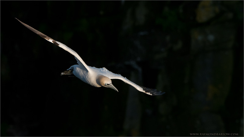 Northern Gannet in Flight<br /> Raymond's Newfoundland Photo Tours<br /> <br /> The rock face in the background was in the shade <br /> while the gannet was still in sunlight as the <br /> sun was going down.<br /> <br /> ray@raymondbarlow.com<br /> Nikon D810 ,Nikkor 200-400mm f/4G ED-IF AF-S VR<br /> 1/2500s f/6.3 at 400.0mm iso800