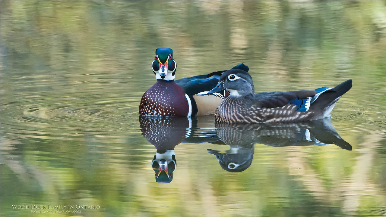 Amazing what can happen when we just sit back and respect Nature.<br /> Protect our wildlife please.<br /> <br /> Wood Duck Couple Preparing for Winter<br /> Raymond's Ontario Nature Photography Tours<br /> <br /> Ontario, Canada<br /> ray@raymondbarlow.com<br /> Nikon D810 ,Nikkor 200-400mm f/4G ED-IF AF-S VR<br /> 1/320s f/6.3 at 400.0mm iso1250