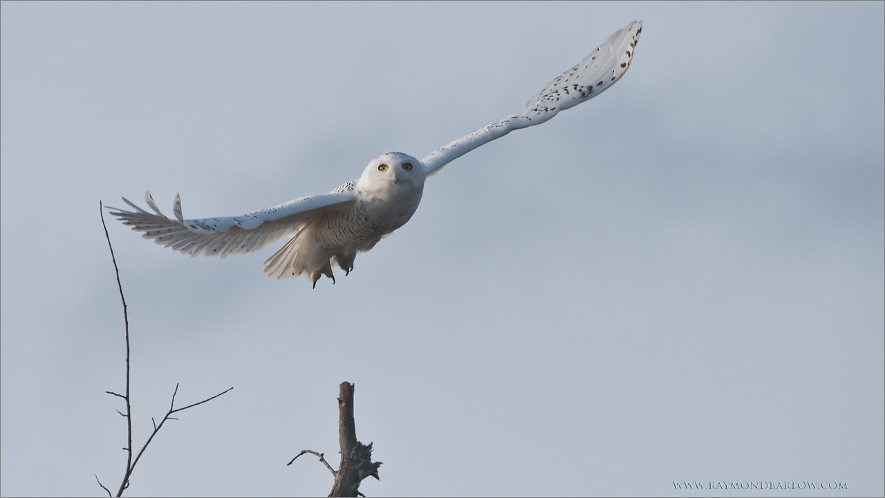 "Snowy Owl in Flight<br /> Raymond's Ontario Nature Tours<br /> <br />  <a href=""http://www.raymondbarlow.com"">http://www.raymondbarlow.com</a><br /> ray@raymondbarlow.com<br /> Nikon D810 ,Nikkor 200-400mm f/4G ED-IF AF-S VR<br /> 1/3200s f/6.3 at 400.0mm iso800"