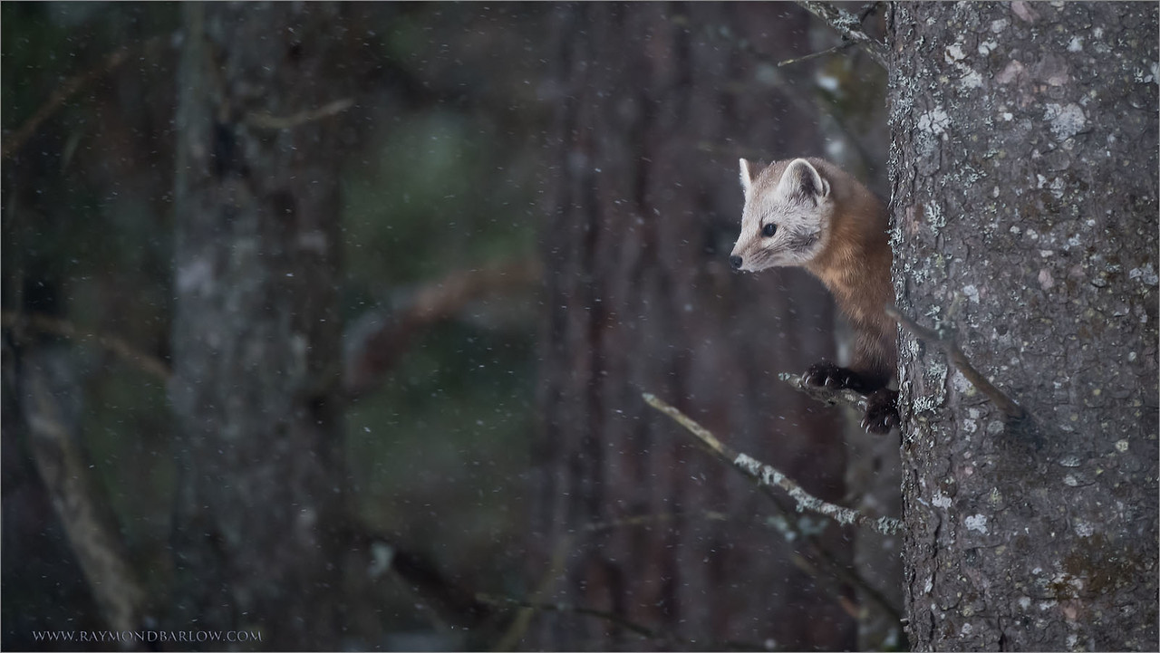 Pine Marten enjoying some Snow<br /> Raymond's Ontario Nature Photography Tours<br /> <br /> ray@raymondbarlow.com<br /> Nikon D810 ,Nikkor 200-400mm f/4G ED-IF AF-S VR<br /> 1/500s f/4.0 at 400.0mm iso2000