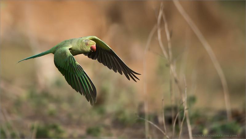 "Rose-ringed parakeet<br /> RJB India Tours<br /> <br />  <a href=""http://www.raymondbarlow.com"">http://www.raymondbarlow.com</a><br /> 1/3200s f/4.0 at 400.0mm iso1000"