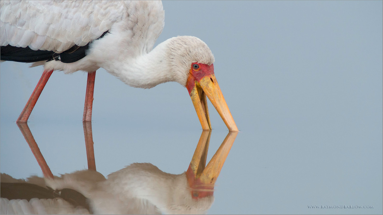 Yellow-billed Stork in Tanzania