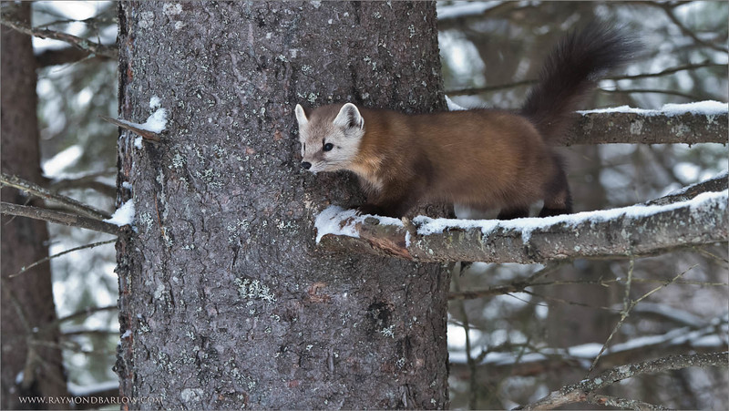 Pine Martin<br /> Raymond's Ontario Nature Tours<br /> <br /> Superb Nature, here in Ontario, Canada<br /> <br /> ray@raymondbarlow.com<br /> Nikon D810 ,Nikkor 200-400mm f/4G ED-IF AF-S VR<br /> 1/200s f/6.3 at 240.0mm iso1600